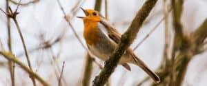 zingend mediteren zingen vogel